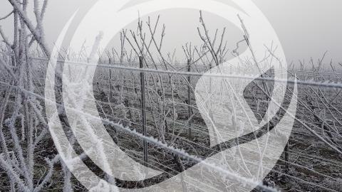 Raureif in den Weinbergen