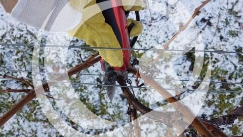 Rebschnitt im Winter