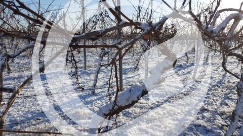 Weinrebe mit Pulverschnee bedeckt