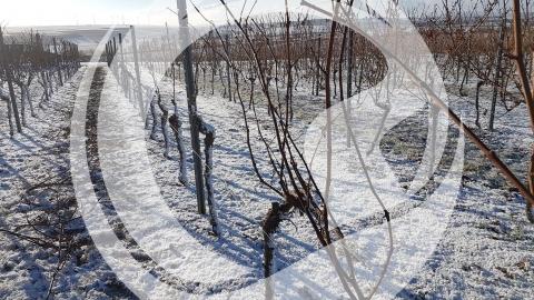 Pulverschnee in den Weinbergen