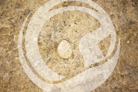 Eingeschlossene Muschel im Sandstein