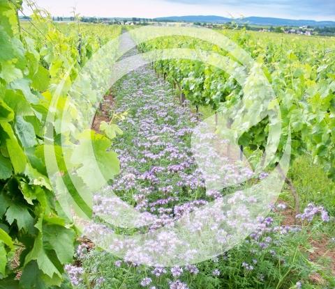 Ökologisch hochwertig begrünte Weinberge