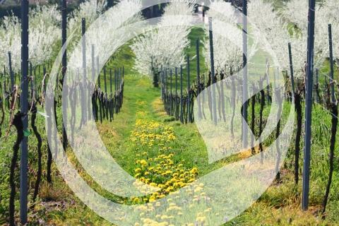 Weinberge im Frühjahr