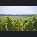 Weinberge bei Westhofen