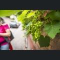 Weintrauben in der Stadt
