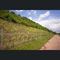 Weinberge am Roten Hang