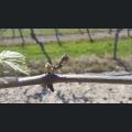 Frostschaden an der Weinrebe