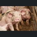 Schweine der Schweinezucht Eichenhof