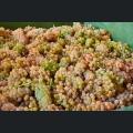Vollreife Trauben bei der Weinlese 2020