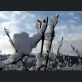 Schneebedeckte Weinrebe