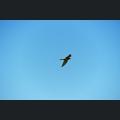 Falke im Frühlingshimmel