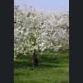 Blühende Obstbäume