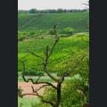 toter Baum mit Weinberge