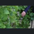 Riesling Trauben